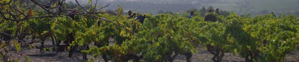 Druvorna skördas för hand på kullarna hos producenten Mas Champart i Saint-Chinian, Languedoc.